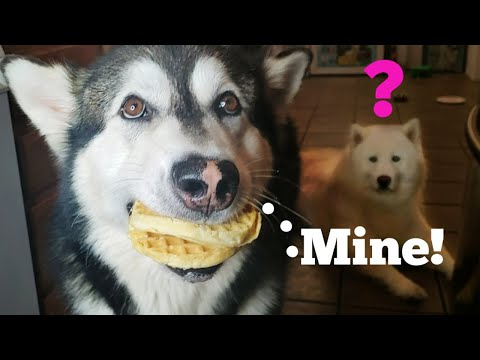 Malamute Steals Waffles Off The Counter Top While Making Waffle Ice Cream Sandwiches