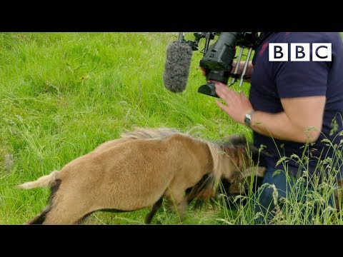 Cameraman smacked in the nuts by angry sheep