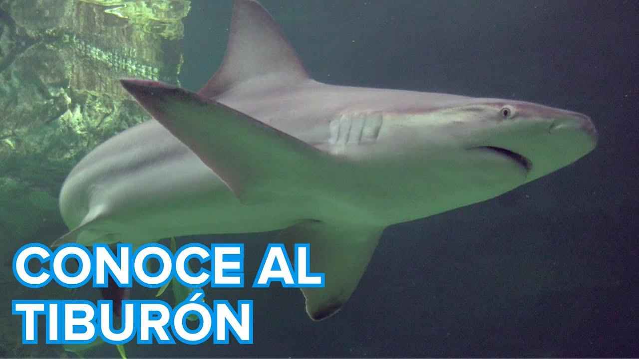 Cómo viven los tiburones | Vídeos de animales para niños