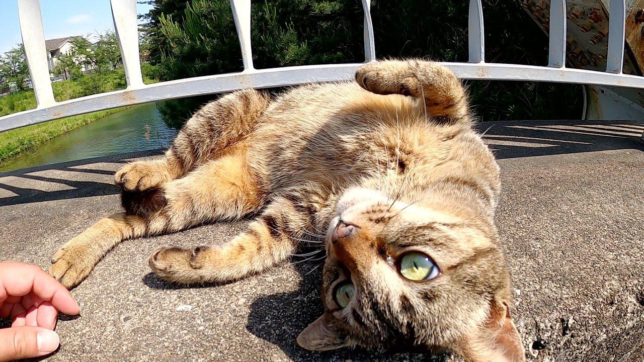 人懐っこいキジトラ猫が橋の縁でゴロンゴロンと甘えてきた