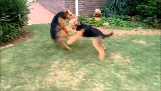 Two Airedale Terriers Playing Bitey Face