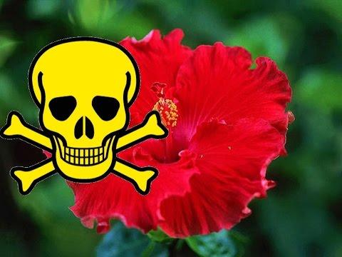 Почему ГИБИСКУС называют ЦВЕТКОМ СМЕРТИ? Можно ли держать китайскую розу в доме. Приметы и суеверия