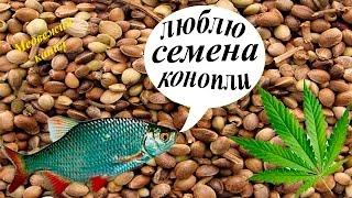 Прикормка для рыбы из конопляного семян