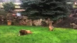 Coyote Stalks & Attacks Big Dog    FUNNY!