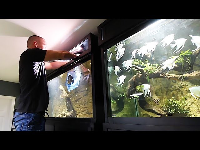 FISH MOVING DAY and ASIAN AROWANA UPDATE!