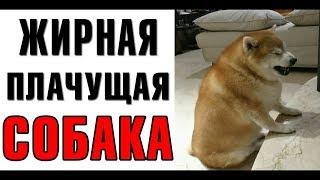 Лютые приколы. Жирная плачущая собака. Фабрика юмора