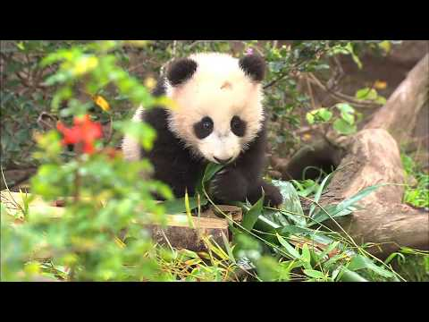 Watch: Baby Panda Makes Public Debut