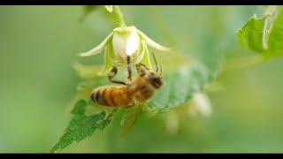 Смотреть онлайн Как люди собирают пчелиный мед, качество 4К