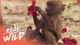 Baboons And Elephants Are Best Friends | Elephants On Run | Wild Things Shorts