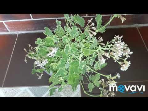 Душистая пеларгония p. Fragrans variegatum
