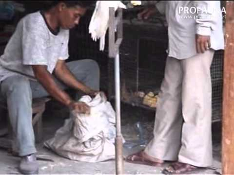 Video Kekejaman dibalik perdagangan kakatua dan nuri