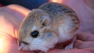 General and Adaptation Facts of Kangaroo Rats