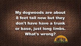 Q&A - My 8 foot dogwood trees don't have a trunk. Why?