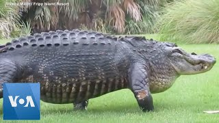 Massive alligator casually walks across golf course