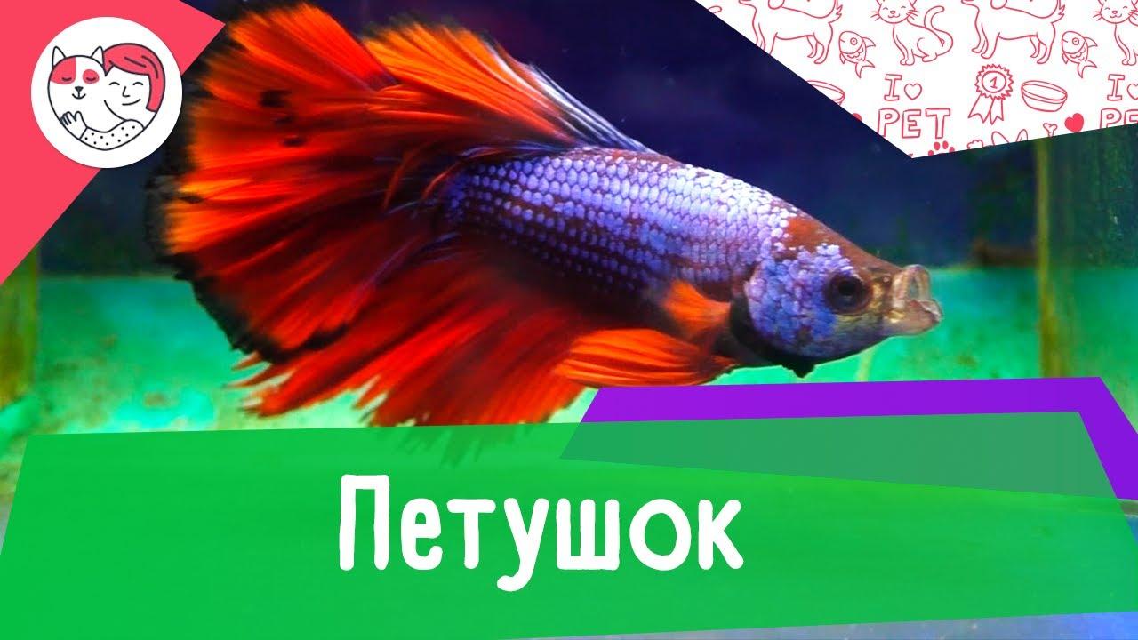 Аквариумная рыбка петушок. Особенности. Уход.