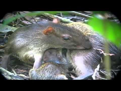 Mamá Guatuza (VIDEO)