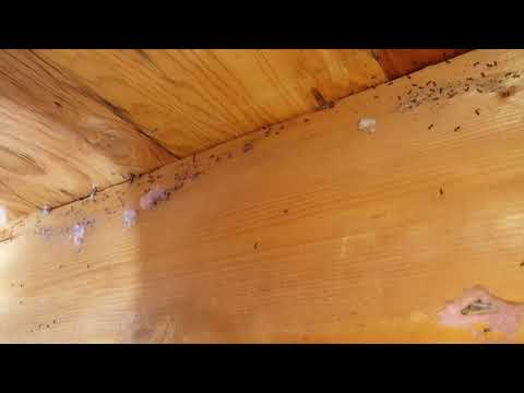 Recently, we went on a service call to a property in Rumson, NJ. The homeowner was in the process of renovating his home and noticed a large number of ants in his new addition. As we transition into spring, ants emerge from a deep slumber and forage for food. Once we arrived and began our inspection, we found a few ants trailing from a hole in the wall. As we got closer, we found a massive infestation of ants inside! A closer inspection revealed that these were odorous house ants. They are called odorous house ants because they emit a rotten coconut smell when they are crushed. Odorous house ants prefer to feast on sweets, such as sugar and pastries. For treatment, I applied a light liquid application on all the cracks, crevices and baseboards in the construction area, directly on the ant trail and the ant colony inside the hole, and along the exterior of the home. When ants come in contact with this application they transfer it from one to another, including to the queen. In a short amount of time, the ants are no more. Once the ants are gone, the homeowner can continue the renovations in a pest-free environment.