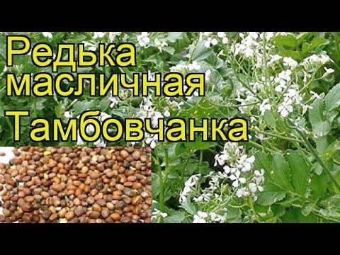 Редька масличная Тамбовчанка. Краткий обзор, описание характеристик, где купить семена