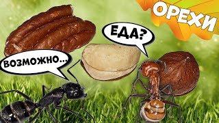 Муравьи жнецы едят семена и орехи, дегустация