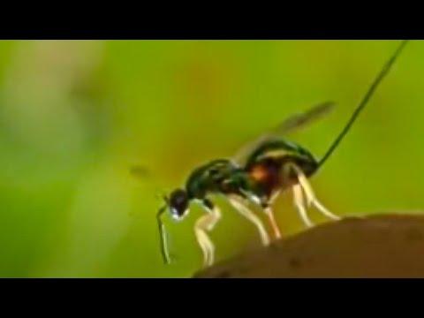 M.ingerleyb parasite clearance