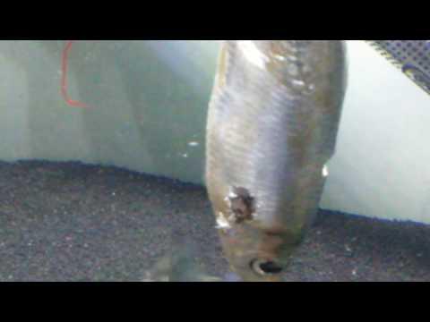 Piranha feeding time a fish