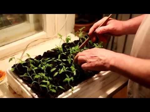 Вырастить рассаду помидор в Сибири, на Урале и Дальнем Востоке