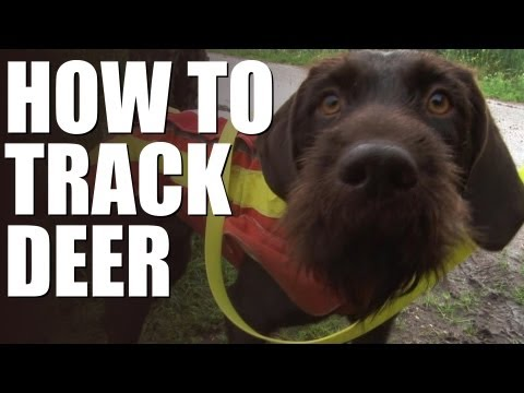 How to track wounded deer with a dog