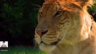 奇闻趣事:老虎和狮子杂交后的狮虎兽,世界上最大的肉食动物