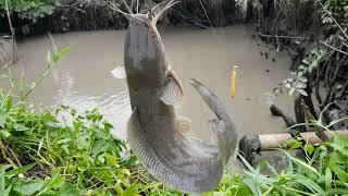 Câu Rạch Nước Cạn Cá Ăn Mạnh Dữ !!!!