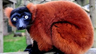 Red Ruffed Lemur at the ZOO