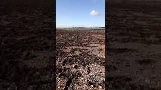 """Altamura, 40 ettari di ceci appena seminati distrutti in una notte dai cinghiali. CIA Puglia: """"Non ne possiamo più"""" - VIDEO"""
