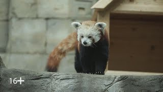 Красная панда – медведь или лиса?