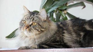 Уход за Сибирской кошкой, Породы кошек