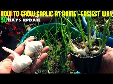 , title : 'How To Grow Garlic At Home-Fast N Easy