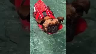 Dog Loves to Swim #shorts