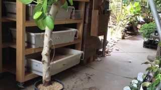 フィカスベンガレンシスオムの木が根腐れした場合の処置方法その3