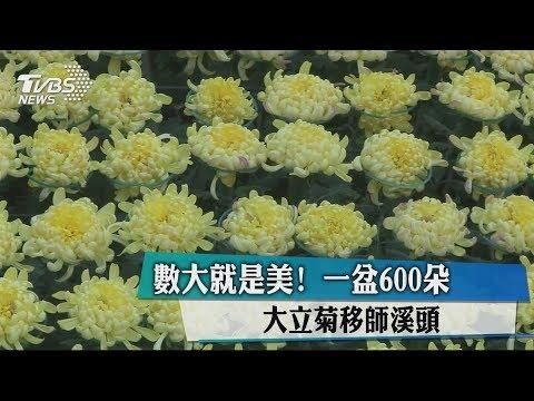 數大就是美!一盆600朵 大立菊移師溪頭