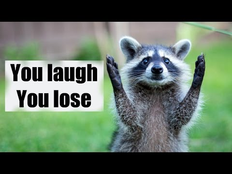 The Most Hilarious Raccoon Moments