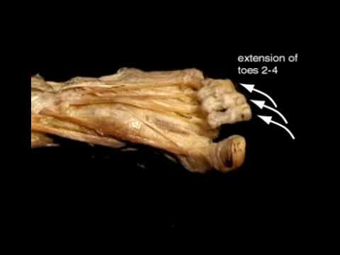 Extensor Digitorum & Hallucis Brevis - Anatomy - Orthobullets