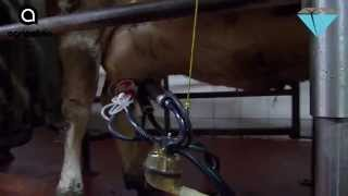 Milking Jewelry
