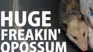 How to get rid of an Opossum when you are scared to death of it