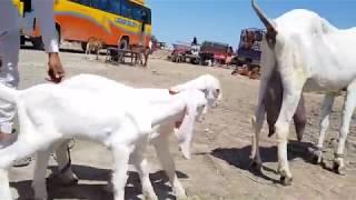 rajanpuri gulabi bakra farm - Kênh video giải trí dành cho thiếu nhi