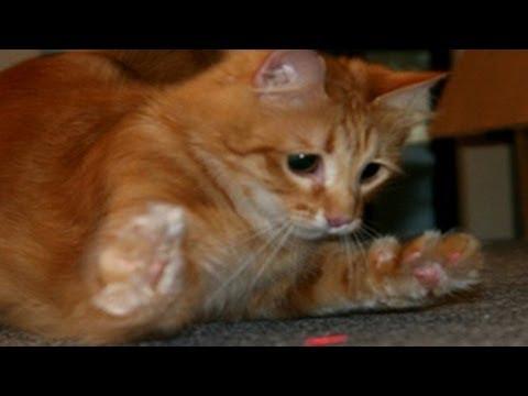 Lustige Katzen Versuchen Laser Light zu Fangen - Katzen vs Laser Pointer [Neues HD Video]