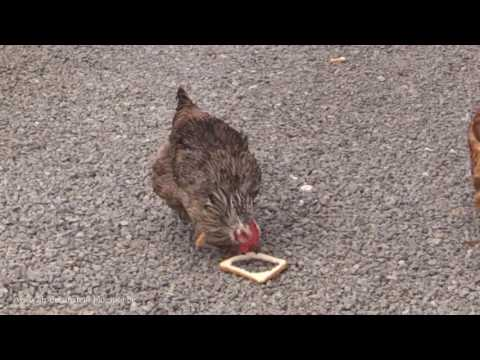 stupid chicken HD Mp4 3GP Video and MP3
