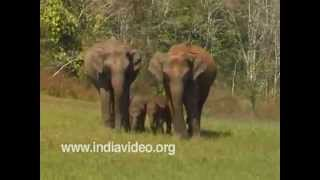 Indian elephants in Chinnar wildlife sanctuary