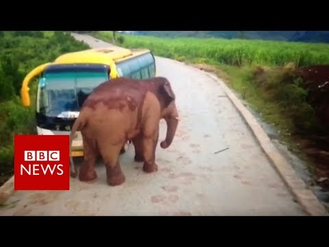 Wild elephant attacks a bus - BBC News