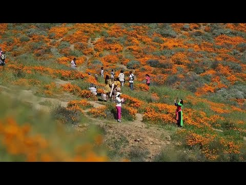 About 150,000 people over the weekend flocked to see this year's rain-fed flaming orange patches of poppies lighting up the hillsides near Lake Elsinore, about a 90-minute drive from either San Diego or Los Angeles. (March 18)