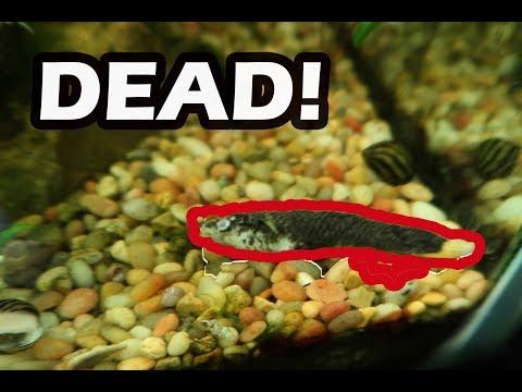 Aquarium Fish DEAD  FAVORITE FISH IS GONE