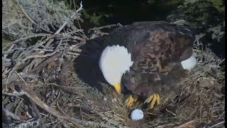 Sauces Canyon Eagles ~ A-48 Lays First Egg Of 2019 Season  2.5.19