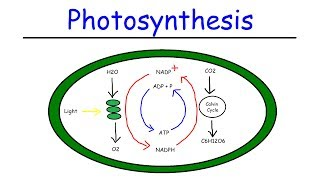 Photosynthesis   Light Dependent Reactions And The Calvin Cycle
